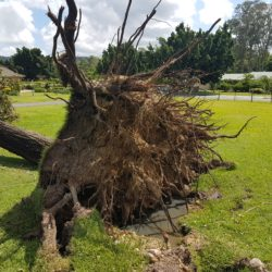 Tree failure due to compromised roots